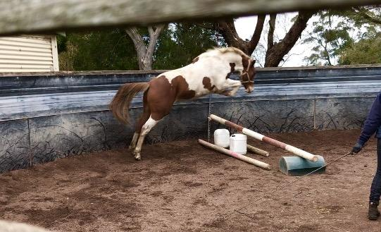 Warmblood/Pinto