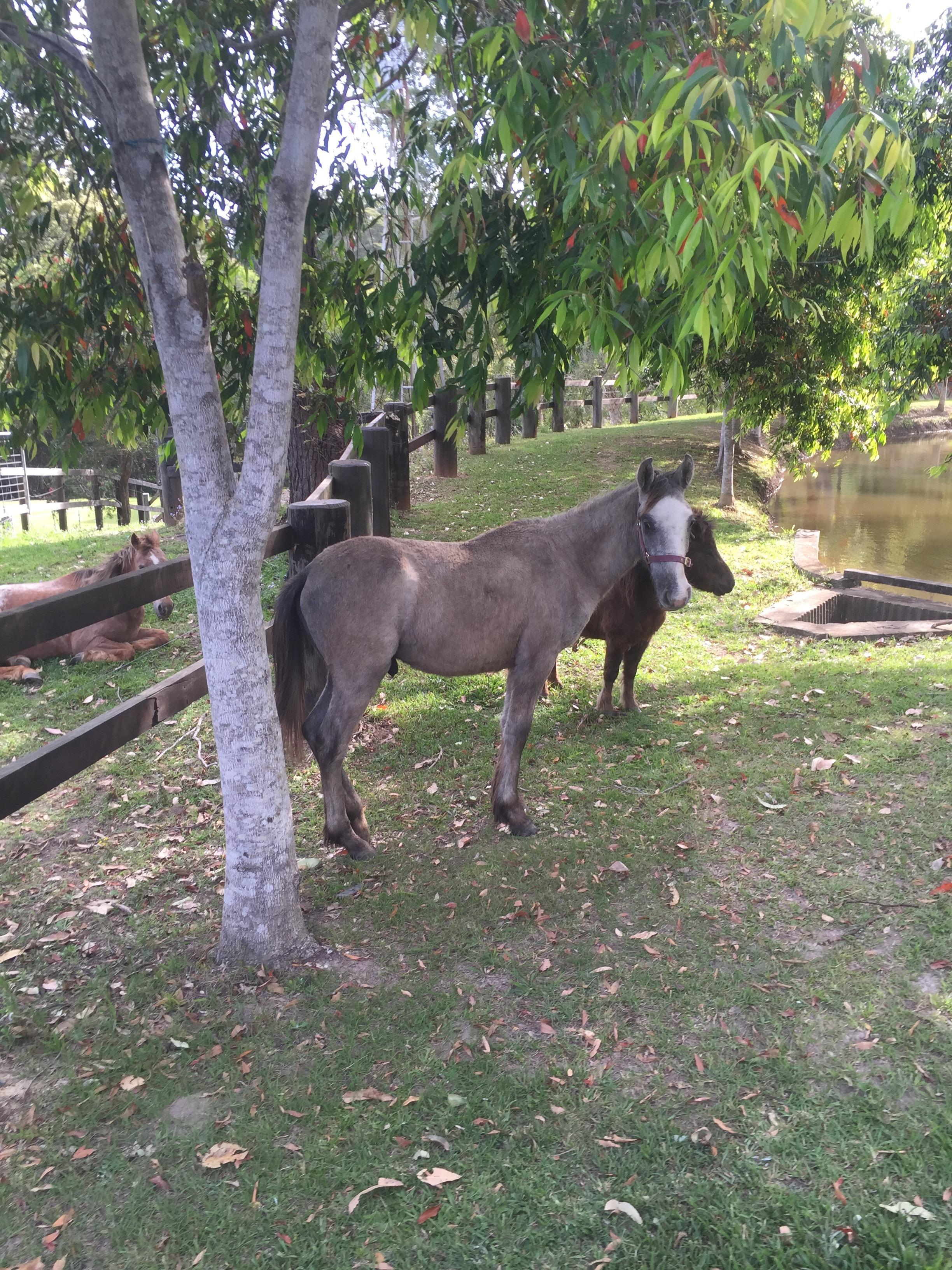 Grey Colt