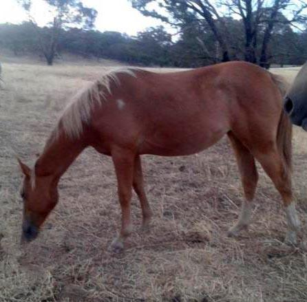 Sorrel reg'd paint yearling filly