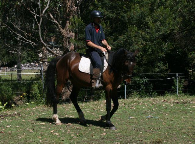 """Scotty"" 15.2hh Gentle Standardbred Gelding"