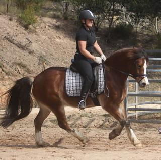 Dressage Show Welsh Pony Gelding
