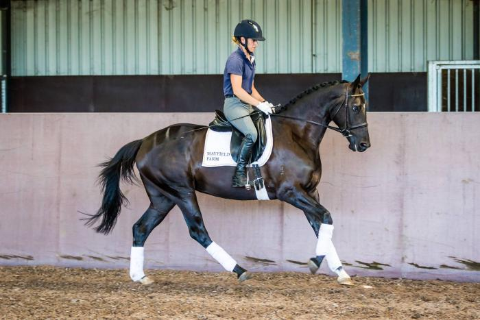 Elegant, black dressage 5yo