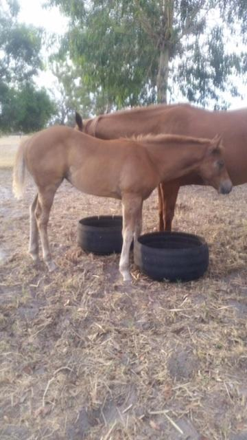 Beautifully bred Paint Bred Filly