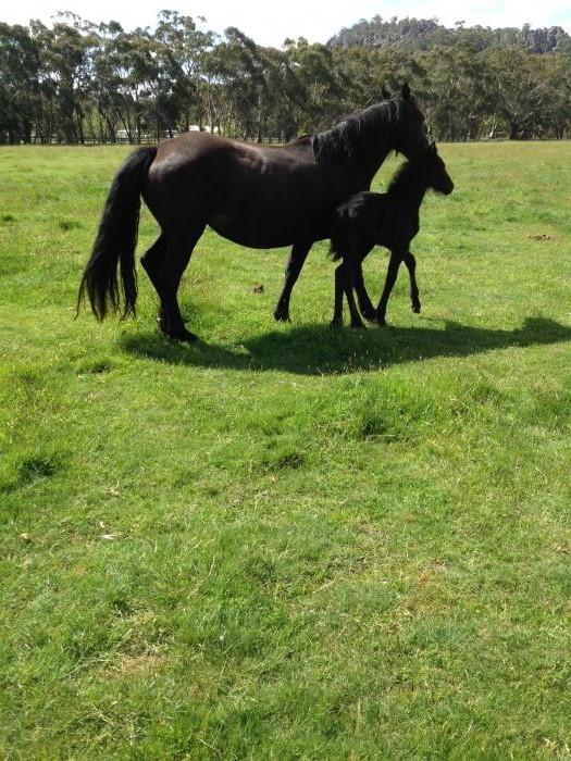 Warlander mare and foal