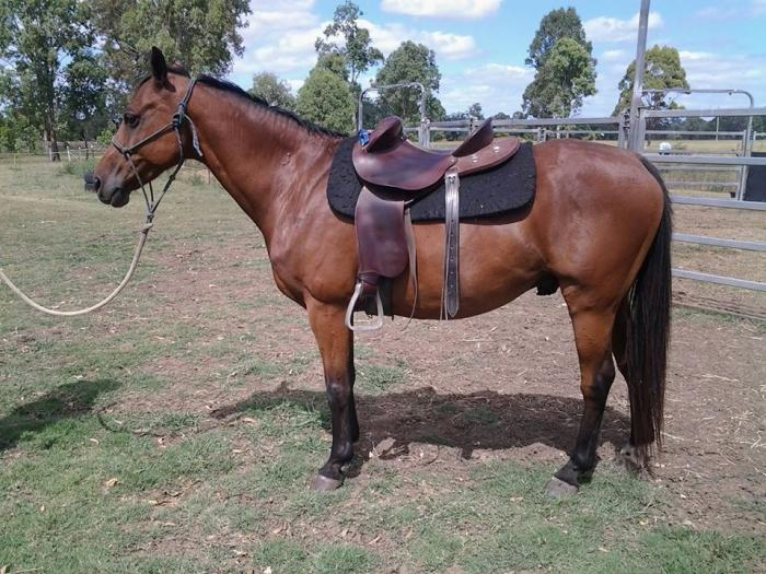 Australian Arabian Registered Saddle Pony