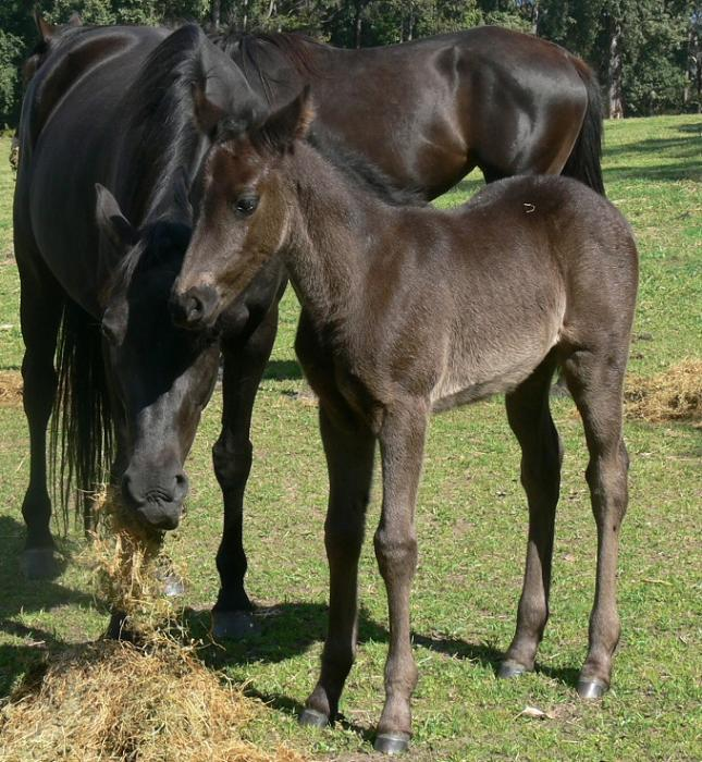 Black Filly Foal Australian Stock Horse