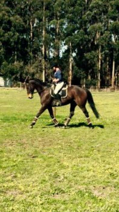 Beautiful 17hh gelding