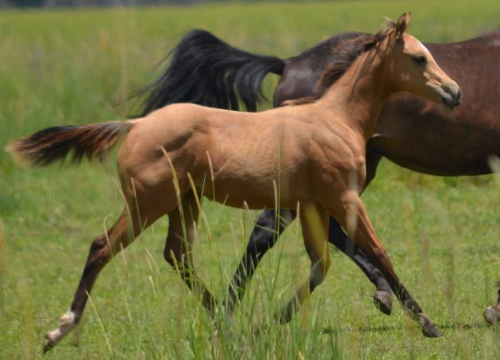 2014 Buckskin Filly Quarter Horse Horsezone