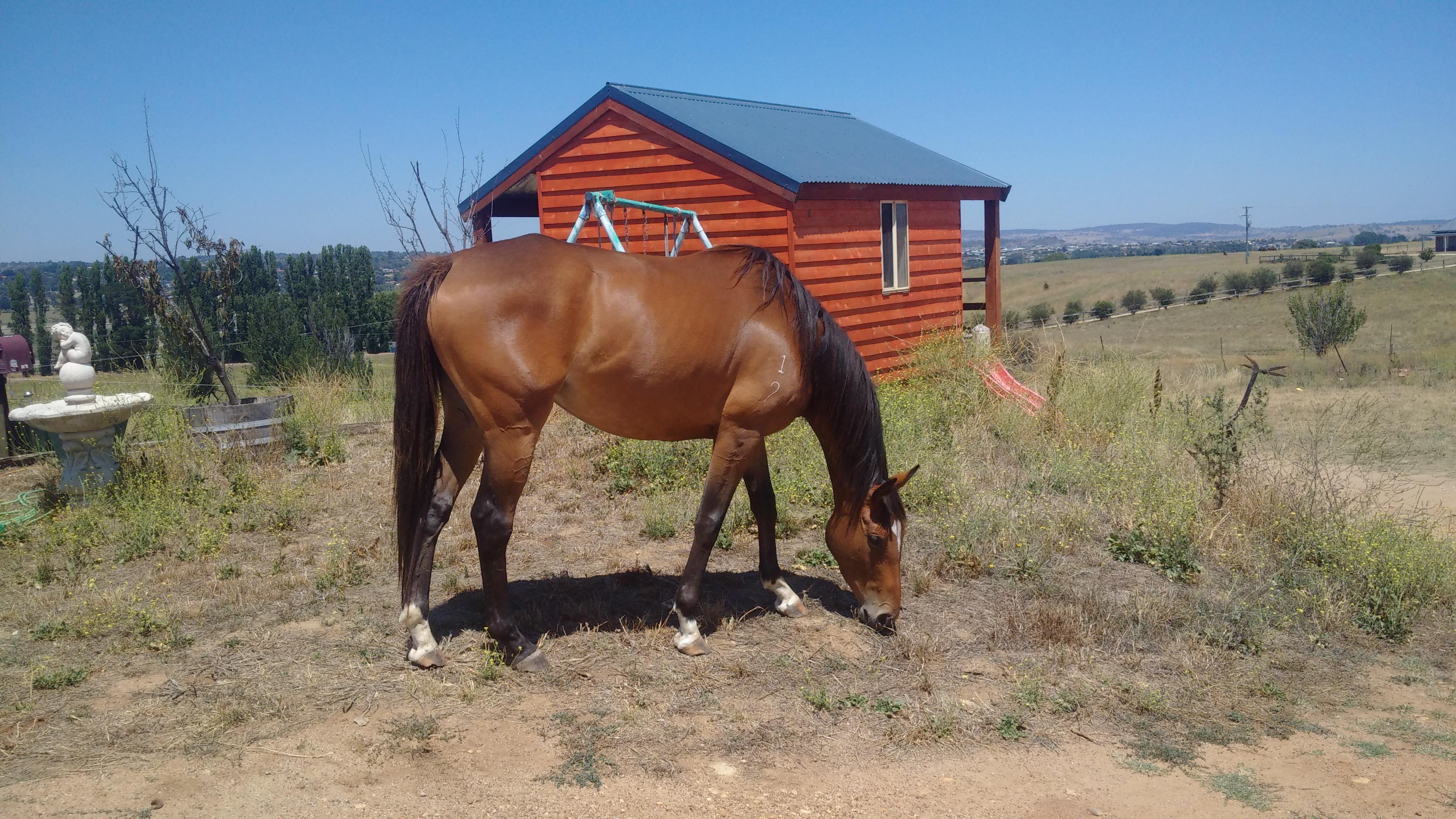 quality thoroughbred mare