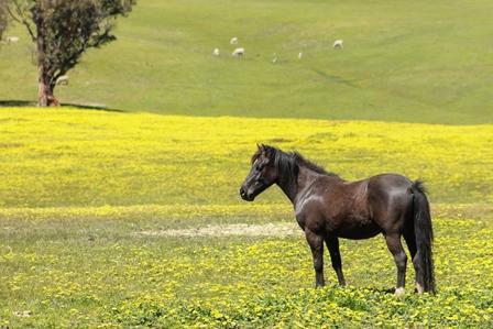 Welsh Pony 3yrs 12.2hh Free Trail Ballarat Area
