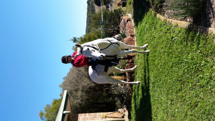 Perfect trail riding grey mare Quarter Horse 14 hh