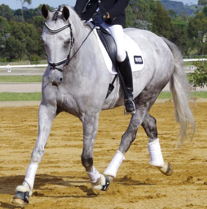Warmblood Gelding Elementary Dressage