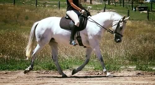 Registered Connemara Sporthorse Mare, 15hh
