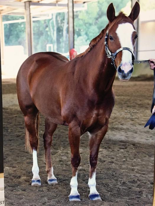 DUAL REGO QUARTER HORSE / PAINT BRED MARE