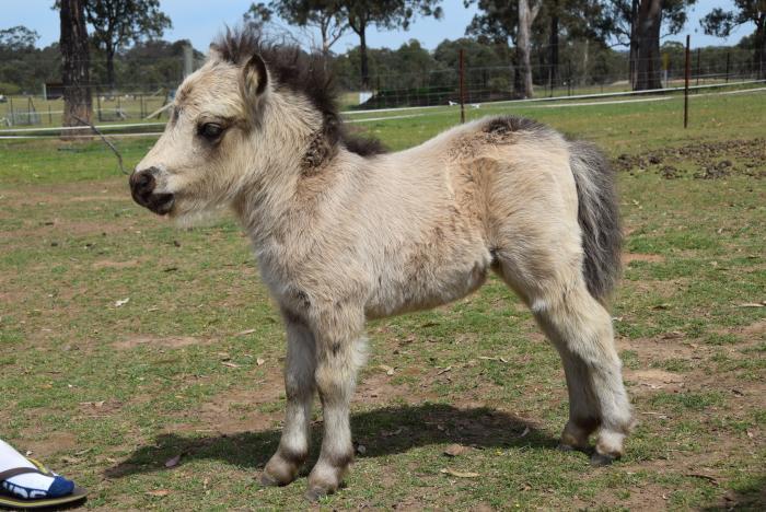 Buckskin Miniature Pony filly foal