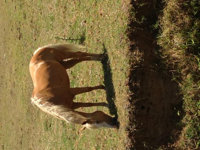 STYNNING 7yr Palomino / Paint mare