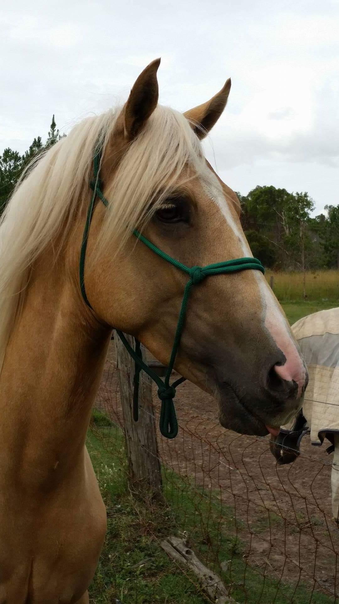 Arab x stockhorse gelding palomino For sale/ Swap