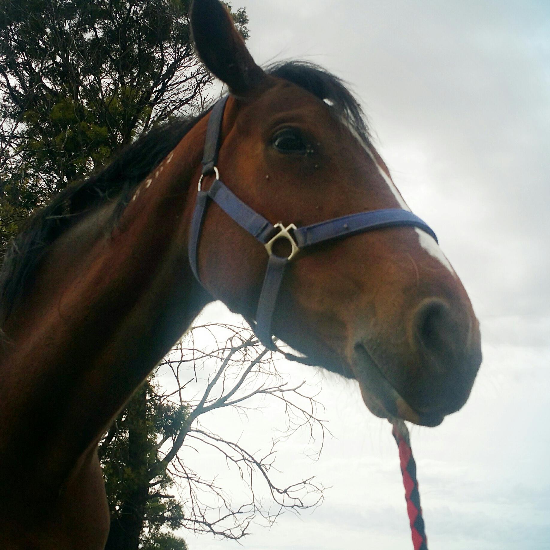 15hh standardbred bay mare