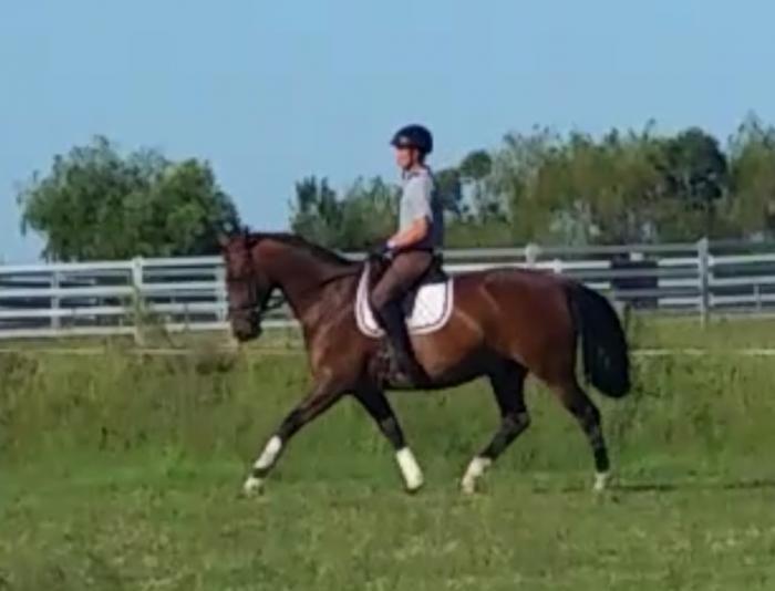 Quiet 6yo Gelding by Breffni Kidman - Australian Stock Horse ...