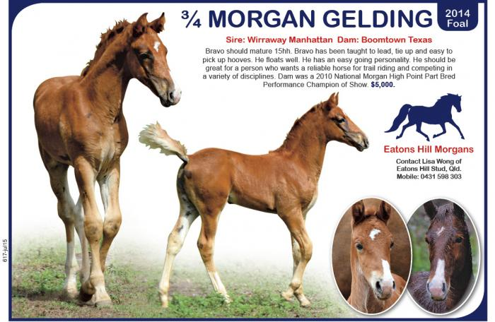 Gentle Part Morgan Gelding