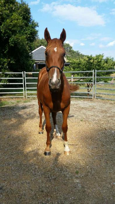Irish Sport Horse Gelding Eventer