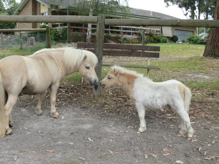 "Miniature Pony Palomino Pinto colt, 18"" 19/10/15."