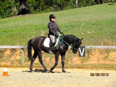 Under saddle, only Halter @ 18 mths old, light work for 2 to 3 mths then turned out to grow.