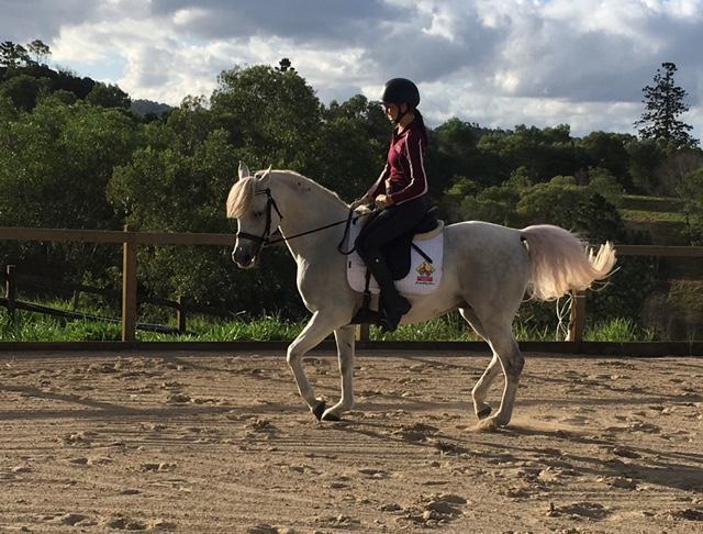 Purebred Arabian, 14hh 9yo Gelding