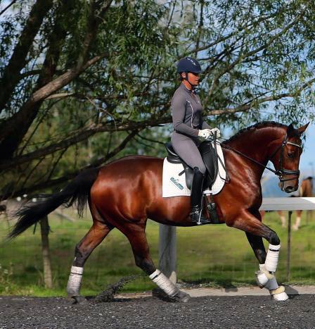 Import Quality 6yo Warmblood Gelding