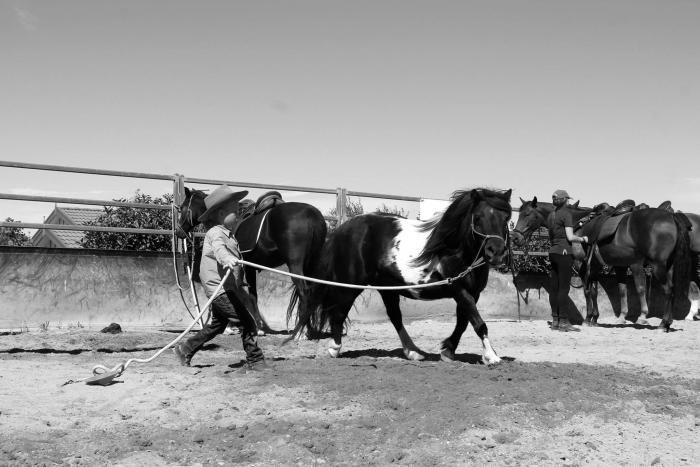 Registered Pinto Shetland - Stunning child's pony