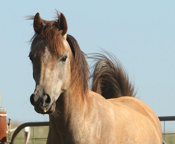Purebred Arabian Gelding by Barabas