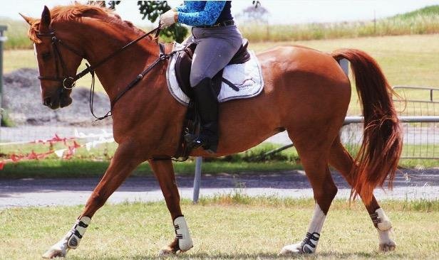 Warmblood x Mare Dressage/ Low Level Eventer
