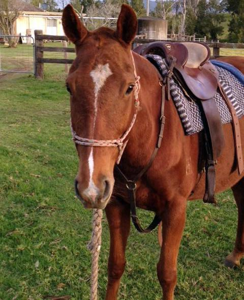 Quiet and easy Stock horse/Thoroughbred mare