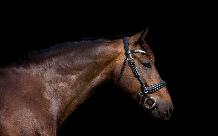 Stunning Warmblood