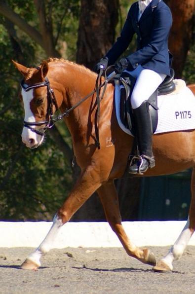 quality dressage pony