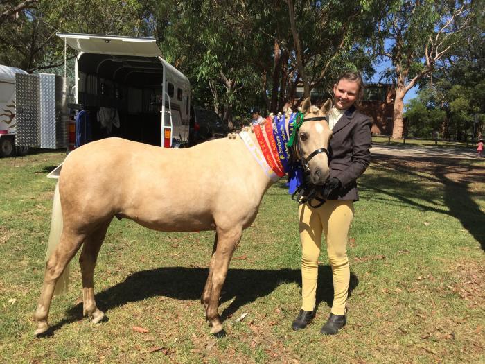 Stunning Show Quality Palomino Pony