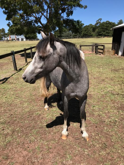 12.2hh Welsh mountain pony mare