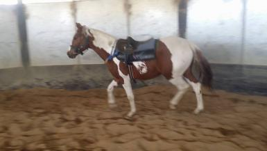 Sparky lunging with saddle
