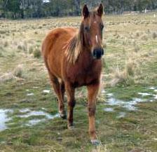 'Spud' QH Filly (Q-76693 Sweet Potato Kid Okie)