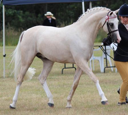 Arabian Stallion Service Auction