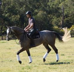 Outstanding Opportunity - grey WB mare by CARACAS