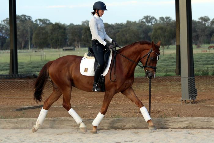 Smaller Warmblood with Big Movement