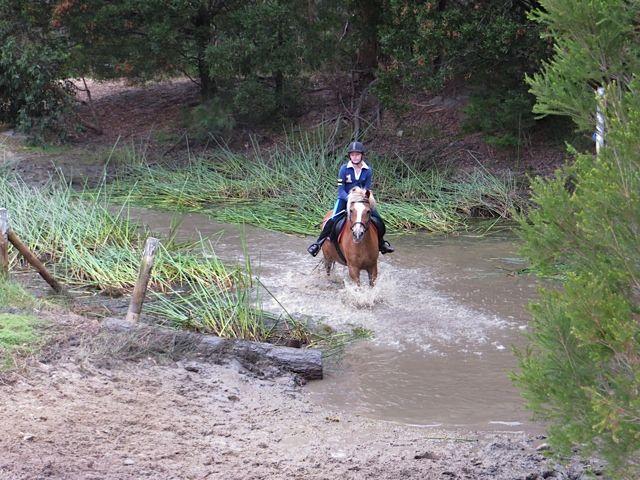Welsh/Haflinger Section C Beginners Pony