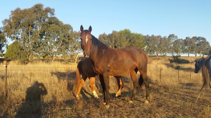 Stock Horse Mare