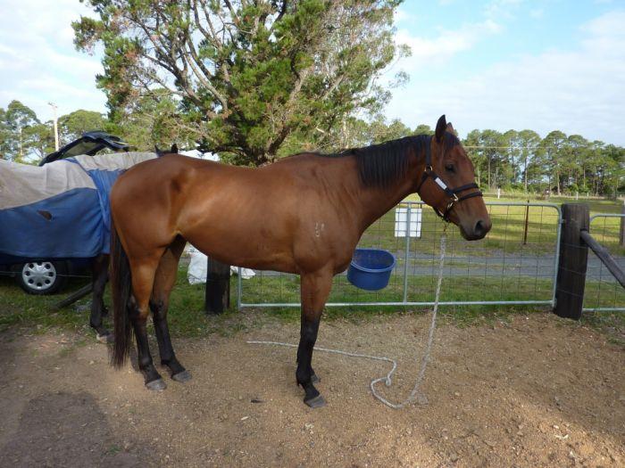 TB Gelding - Project Horse