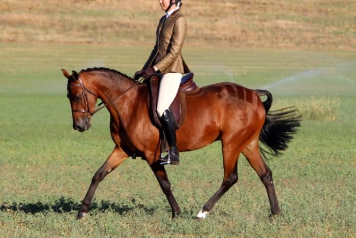 Super Show and Dressage Pony