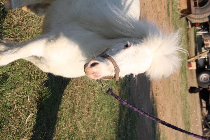 3-Cremello filly
