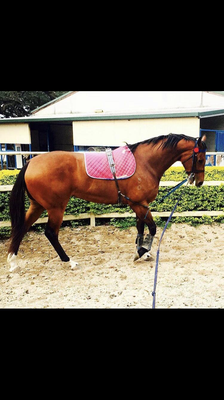 Typey bay TB mare - show or breed!