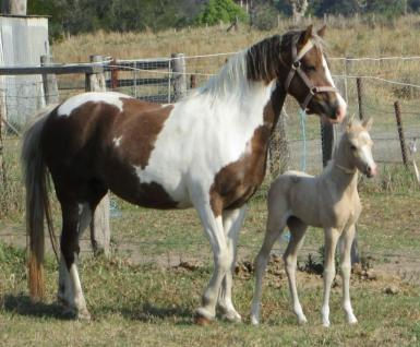 Dam: Brampton Angel, (with current foal)
