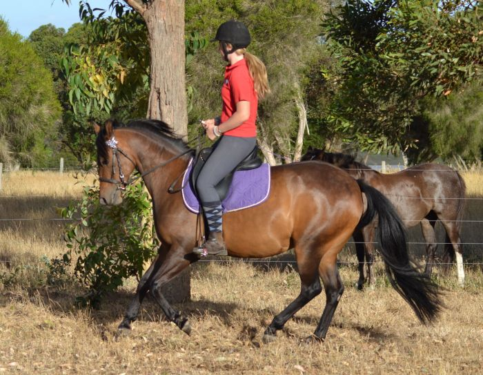 AWESOME ALL-ROUNDER - Bay, 13hh, 7yo Mare